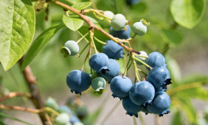 Groupon Blueberry Plants